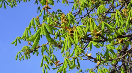 kaštanová : Young green leaves of chestnut tree in early spring