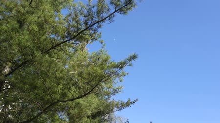 pinus : Pine branch against the blue sky in early spring