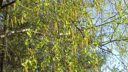 birch tree : The first spring green leaves of birch in the sun