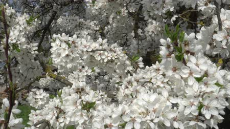 oriental cherry tree : white Sakura flowers close - up in the wind Stock Footage