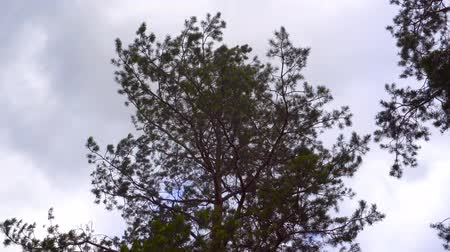кедр : branch of pine against the blue sky in the wind