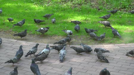 feeding ground : flock of pigeons feeding in slow mo Park Stock Footage