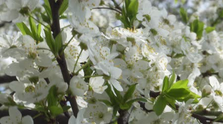 kwiecień : Cherry blossom in April. Cherry branches in the wind 4k Wideo