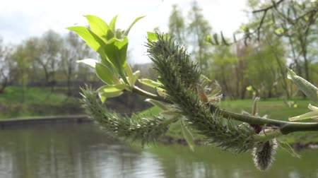 söğüt : Spring branch of a blossoming willow on a background of lake