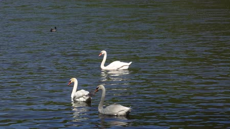csaj : Wild swans swim on a blue lake in early spring