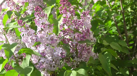 lehet : May blooming lilac on a Sunny day. 4K