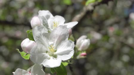 güzelleşmek : Spring white flowers on a branch of apples in the afternoon Stok Video