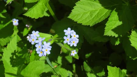 perennials : Brunner spring flower or forget-me-in garden Stock Footage