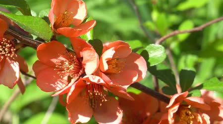 pigwa : Quince branch blooming in spring on a Sunny day