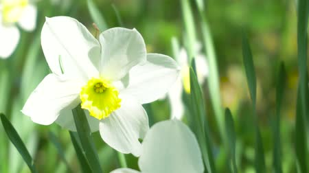 żonkile : Flower Narcissus close-up in the garden. 4k Wideo