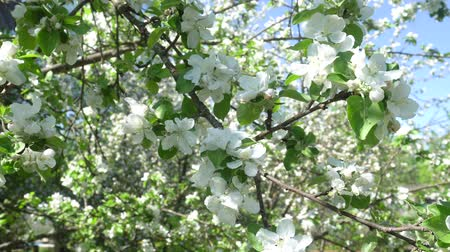 опылять : Spring white flowers on a branch of apples in the afternoon Стоковые видеозаписи