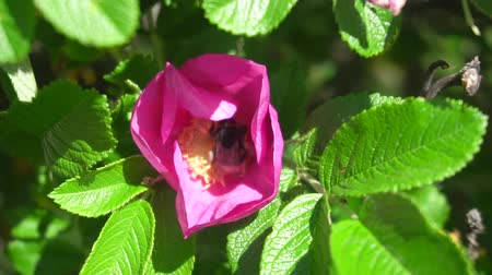 bibe : Slow motion video of a bumblebee pollinating a rose hip flower
