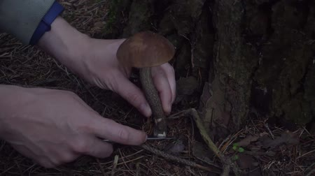 borowik : Autumn gathering of mushrooms in the forest Wideo