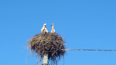cegonha : white storks in the nest on a pole against a blue sky