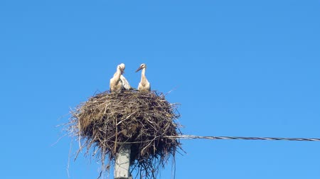 bocian : white storks in the nest on a pole against a blue sky