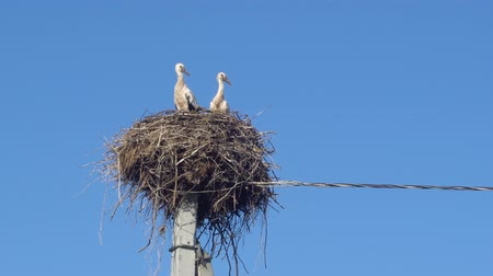 pintos : white storks in the nest on a pole against a blue sky