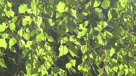 walnut tree : Young birch at sunset in sunlight Stock Footage