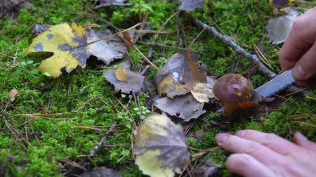 borowik : Collection of edible mushrooms aspen in the forest in the moss Wideo