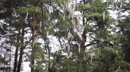 polinização : aspen branches with earrings swaying in the wind in April spring Stock Footage