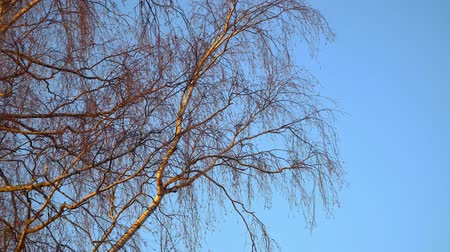 opadavý : Birch branches without leaves in early spring against the blue sky