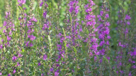 florido : pink flowers Lythrum virgatum Dropmore Purple swaying in the wind. zoon in