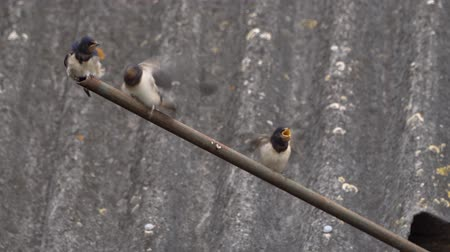 csajok : Swallow feeds young Chicks from its beak