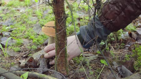 grzybobranie : picking mushrooms in the forest in autumn. woman cuts mushroom aspen with a knife