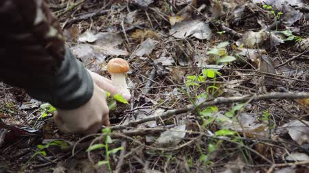 osika : picking mushrooms in the forest in autumn. woman cuts mushroom aspen with a knife