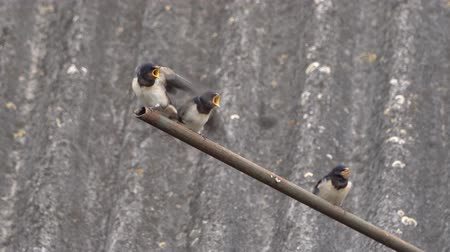 csaj : Swallow feeds young Chicks from its beak
