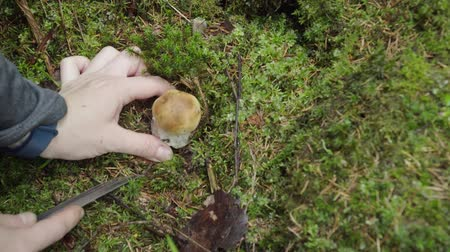 grzybobranie : picking mushrooms in the forest in autumn. woman cuts mushroom boletus with a knife