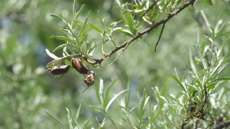 çiftleşme : may large beetles on the branches of sea buckthorn Stok Video