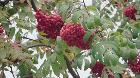 rowanberry : Red bunches of ripe mountain ash in autumn on the wind Stock Footage