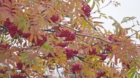 üvez ağacı : Red bunches of ripe mountain ash in autumn on the wind Stok Video