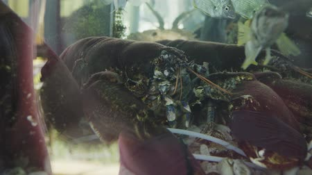 korýš : Live lobster in restaurant aquarium closeup