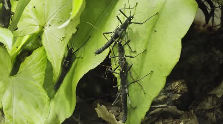 préri : Peruphasma schultei stick insect breed on a branch
