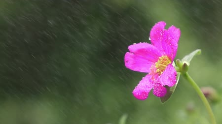 colorful drops : Slow motion close up cosmos Flower under the rain