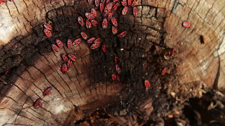 blight : The firebug or Pyrrhocoris apterus