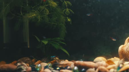 bearer : Many beautiful colourful fish with long voile tails and fine in home aquarium.