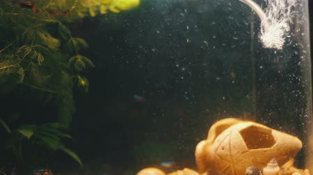 предъявитель : Many beautiful colourful fish with long voile tails and fine in home aquarium.