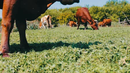 pecuária : Large cow eats grass, a view close to the background of other cows that graze in a meadow