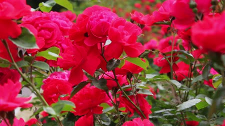 rosebush : Beautiful red fragrant lush roses in park close up.Rose flowers bloom in the garden