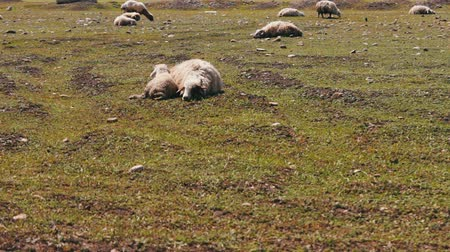 kırpılmış : Sheep and a small lamb lay on a green meadow and rest. Passing by the sheep that graze
