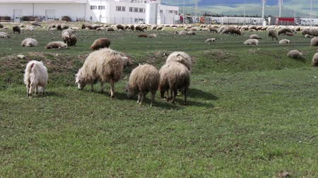 kırpılmış : Herd of grazing white uncultivated sheep in Georgia.A group of sheep gazing, walking and resting on a green pasture.