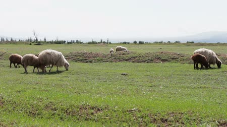 neobdělávaný : Herd of grazing white uncultivated sheep in Georgia.A group of sheep gazing, walking and resting on a green pasture.