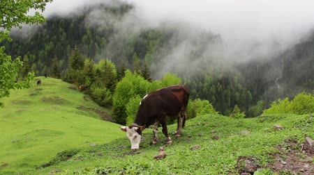 farmer animals : Cow grazes on a picturesque mountain landscape in the fog and lush greenery around Stock Footage