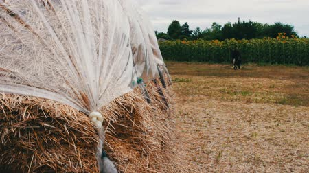 hay pile : Form for farm animals for the winter.Large stack of hay or straw covered with polythene dries under the open sky. Stock Footage