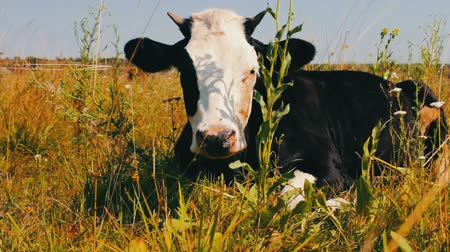 ruminante : Interestingly painted black cow with white muzzle lie in the grass and chews it Vídeos