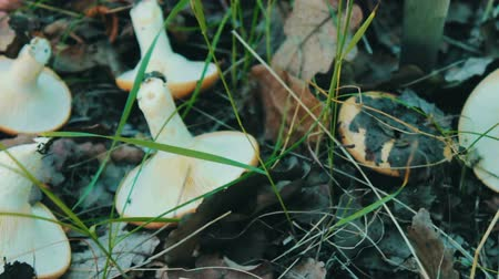 boletus edulis : Fresh cut mushrooms with knife lie on the grass. Mushroom picking mushrooms in forest under layer of green grass and dry leaves