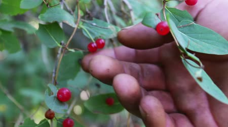 rowanberry : Red wild forest berries grow in the bush in the summer and sway in the wind close up