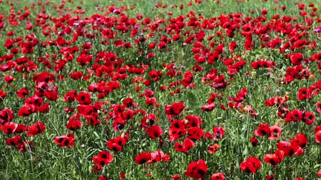 haşhaş : Huge field of blossoming poppies in Dagestan